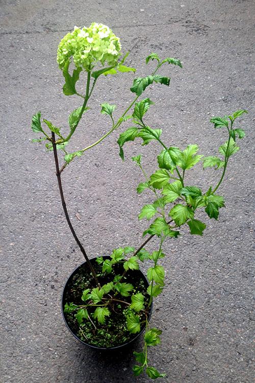 Саженец калины roseum