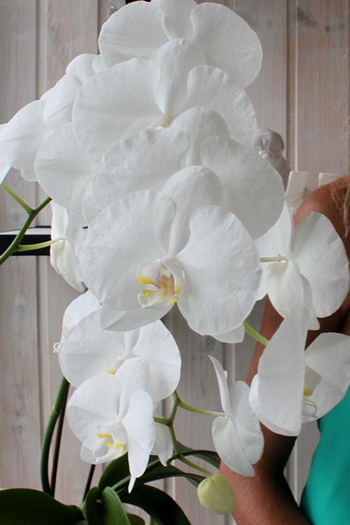 Белые орхидеи на свадьбе