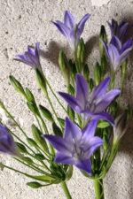 Романтичный цветок бродиэя или трителейя!