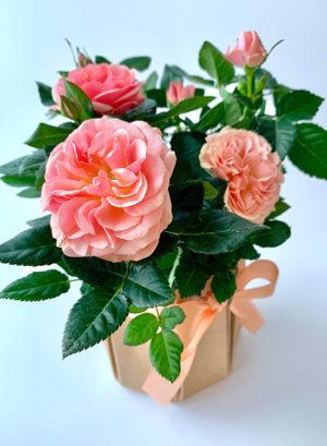 Роза миниатюрная в горшке