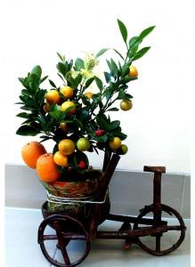 """Композиция с цитрофортунеллой мандарин в кашпо """"Велосипед""""."""
